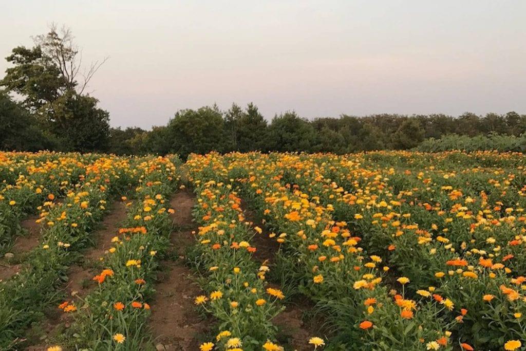 Valhalla - Lavender Fields